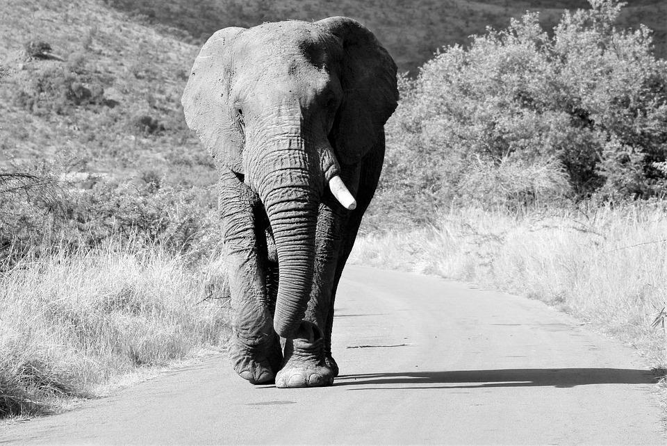 Afrikaanse Olifant, Bull, Wandelen, De Weg, Dikke Huid