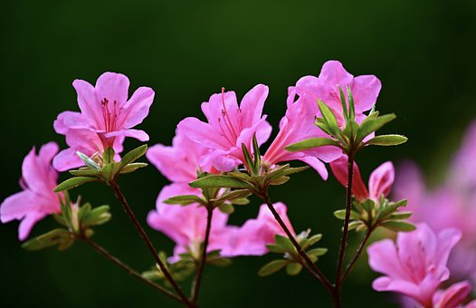 1 000 Free Rhododendron Bloom Images Pixabay
