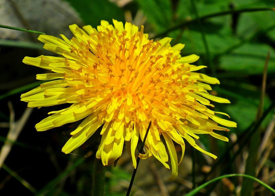 Sonchus Oleraceus, Dandelion, Flower, Yellow, Closeup