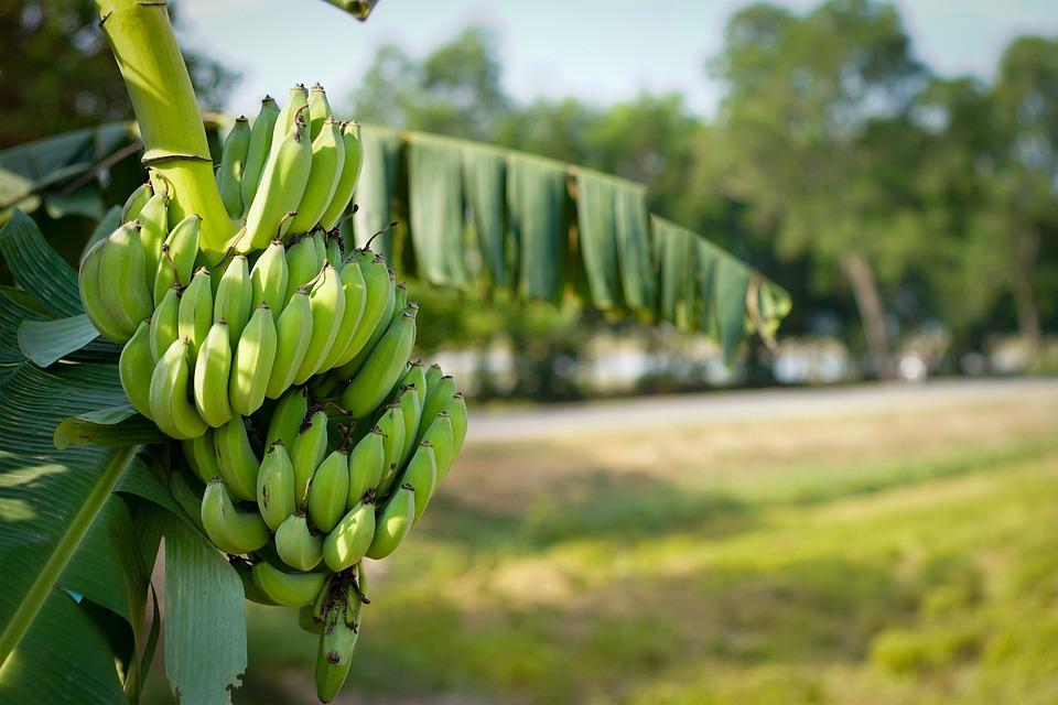 バナナ、木、緑、ない、農業、背景