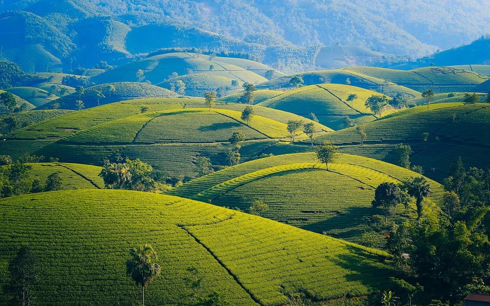 山および丘, 茶, 葉, 紅茶, 丘, 山, 庭, 新鮮な, 背景, ベトナム