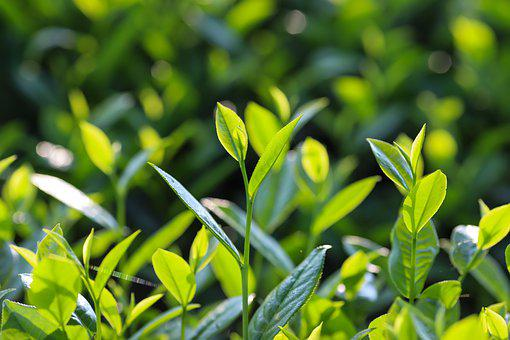 茶, 紅茶, 長い粒, ベトナム, 新鮮な, ドリンク, グリーン, 緑茶