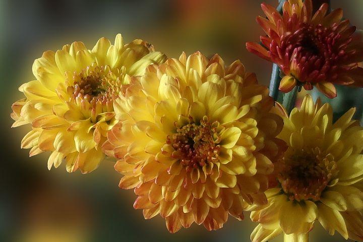 Chrysamthemum, Flower, Yellow, Petals