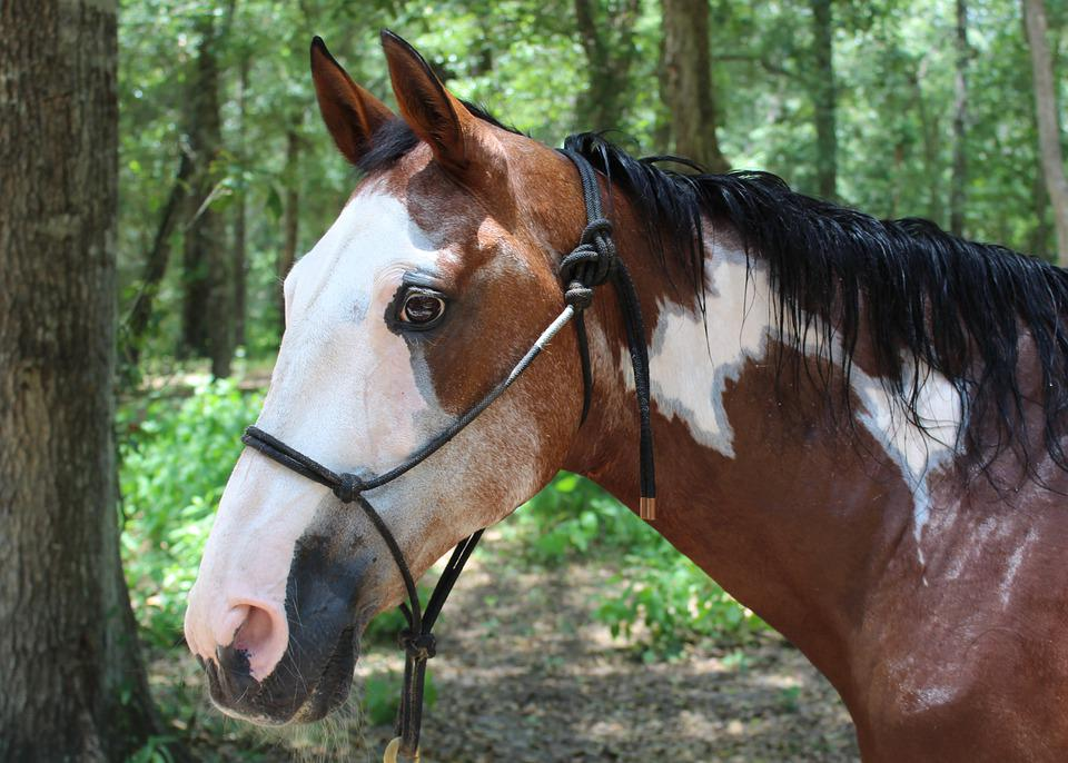 Horse, Mare, Animal, Halter, Equine, Bay, Paint, Pinto