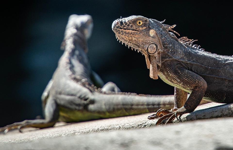 Leguanen, Reptielen, Hagedis, Dragon, Dierlijke, Schaal
