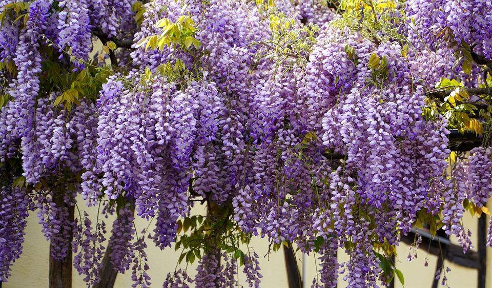 Wisteria, Blue Rain, Flowers, Blossom, Bloom, Violet