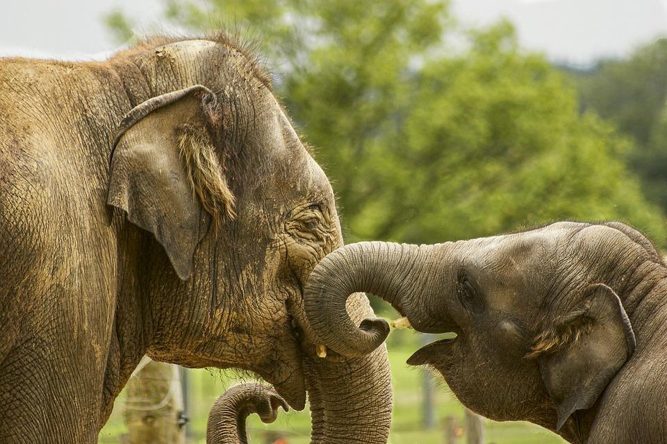 Baby Elephant, Close Up, Elephants, Family Elephants