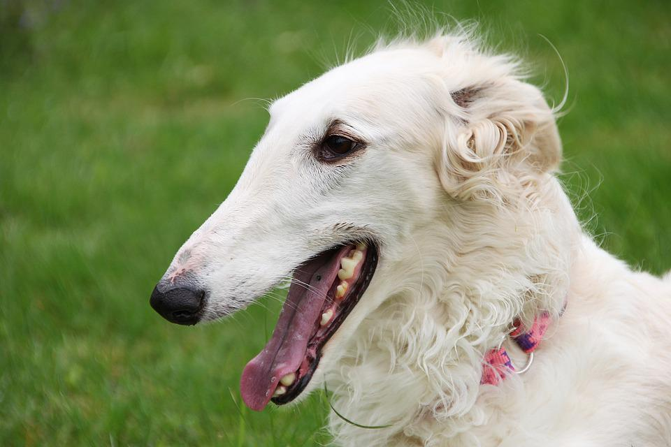 Borzoi, Greyhound, Russian, Purebred, Dog, Portrait