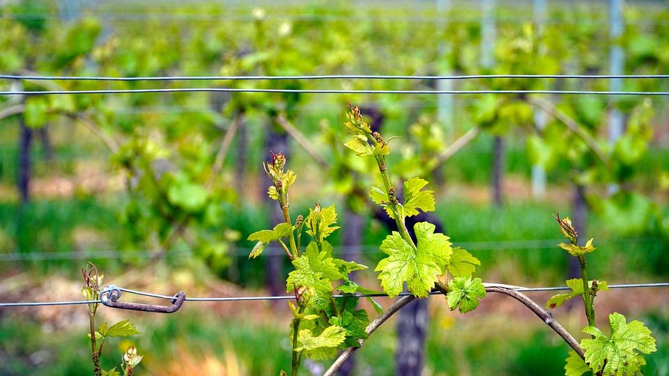 Vignes, Vigne, Vin, Rebstock, Vert, Printemps