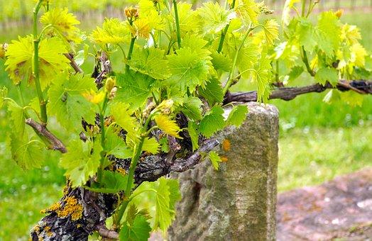Les cépages blancs en Bourgogne