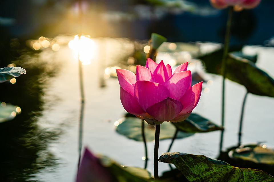 Flower, Lotus, Ao, Blooming, The Leaves, The Garden