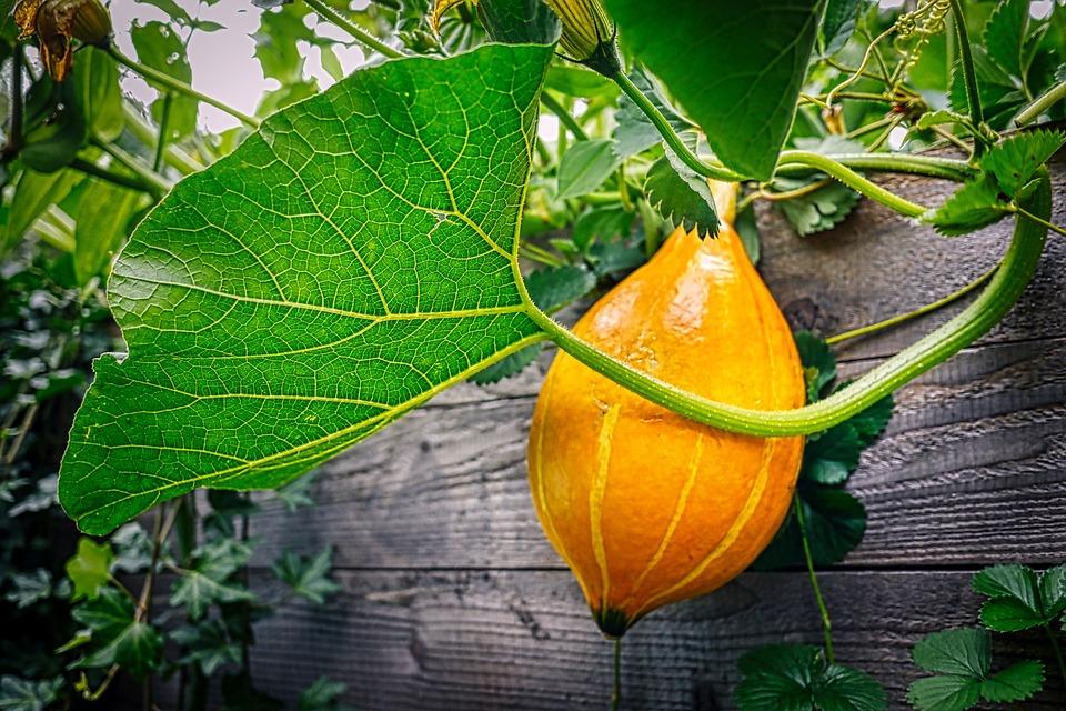 Kürbis, Garten, Hochbeet, Halloween, Herbst, Blatt