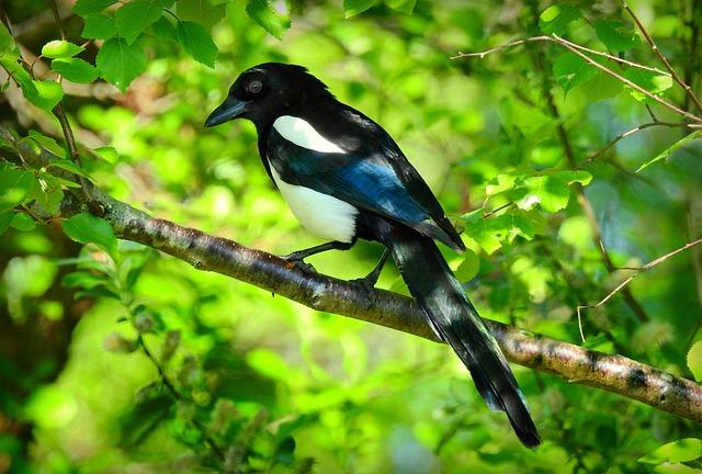 Magpie Bird Animal Free Photo On Pixabay