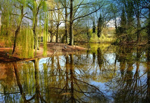 Pond, Water, Reflection, Willow, Park