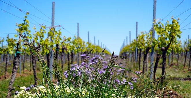 Vineyard, Vines, Winegrowing, Vine