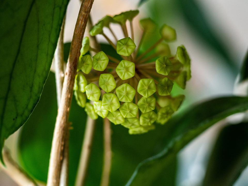 Hoya, Flower, Sphere, Buds, Green, Fresh, Retail