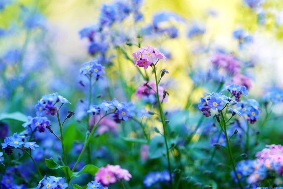 私を忘れる, 忘れて 私ではなく, 先の尖った花, 春の花, 散乱花, 牧草地, 庭, 野生の花, 植物