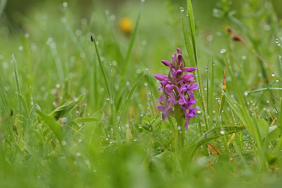 Natur, Orchidee, Knabenkraut, Blüte, Nahaufnahme, Wiese
