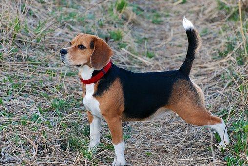 Dog, Walk, Pet, Beagle, Breed, Orange