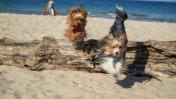 Yorkshire Terrier, Sea, Beach, Dog