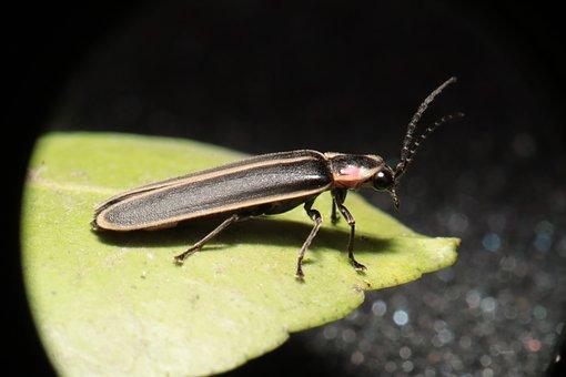 Insekt, Natur, Hauptrolle, Elateriformia
