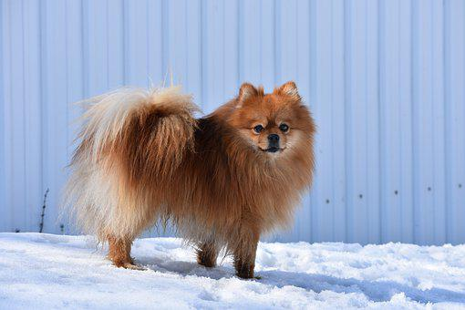 Dog, Darling, Home, Spitz, Pomeranian