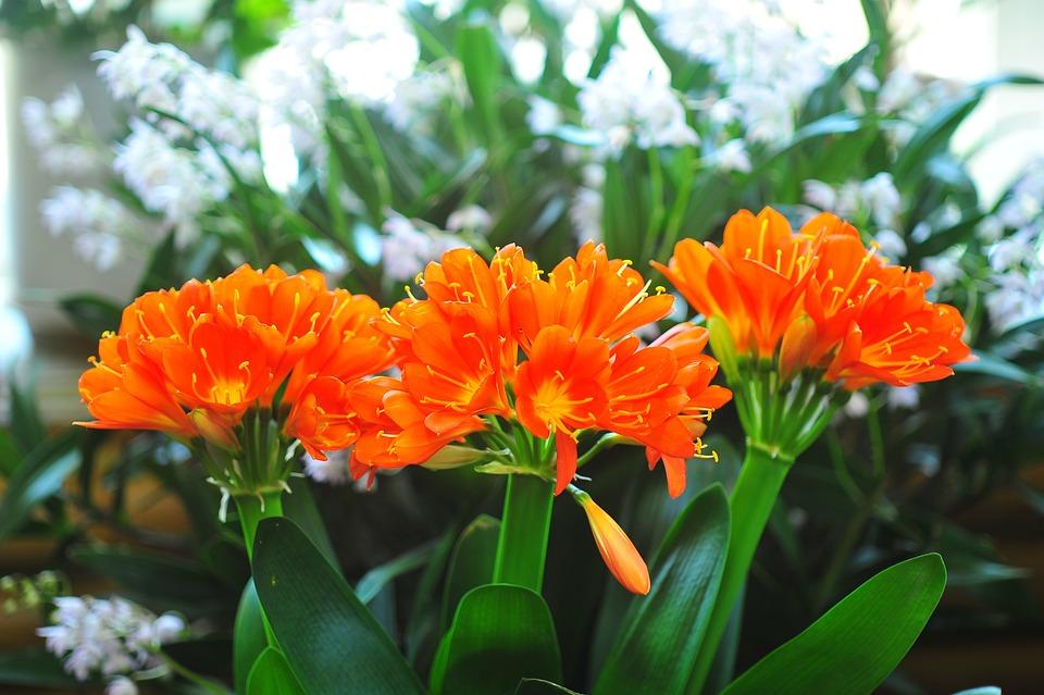 Flowers, Clivia Miniata, Spring Flowers, Nature