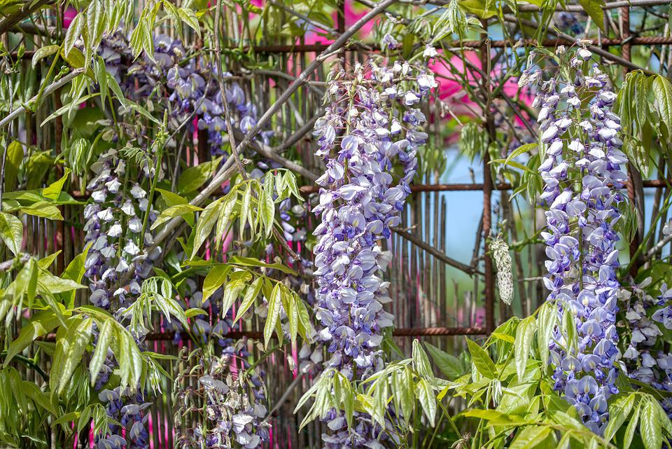 Blue Rain, Wisteria, Climbing Plants, Fabaceae, Fence