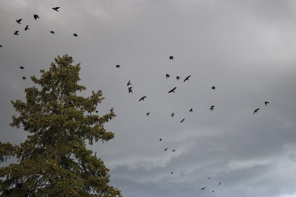 Птиците, Небе, Лято, Лети, Crow, Шест