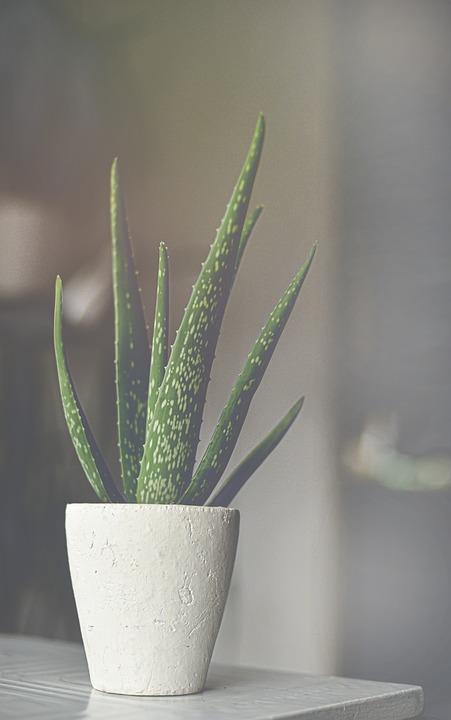 Aloe Vera, Aloes, Aloe, Plant, Green, Succulent, Nature