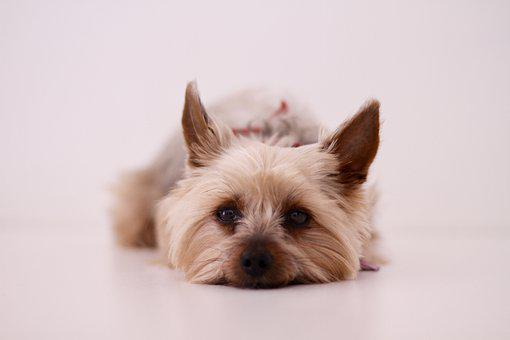 Dog, Yorkshire Terrier, Paris, Pet, Cute
