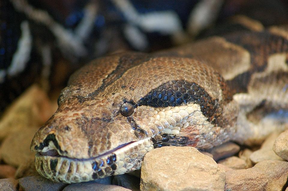 Snake, Constrictor, Python, Reptile, Boa, Animal