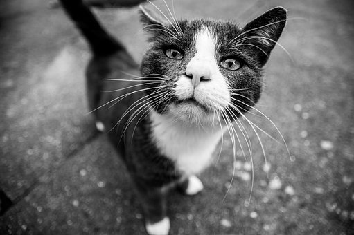 Cat, Black, White, Animal, Feline, Pet