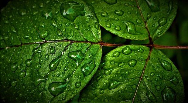 Hojas, Clorofila, Verde, Mojado, El Agua