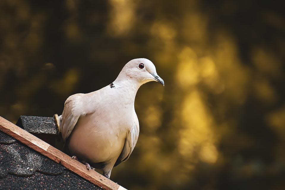 Collared, Bird, Plumage, Dove, Nature, Animal