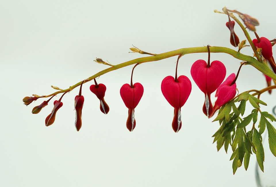 Särkynyt Sydän, Kukat, Kukka, Kaksivärinen Heart Kukka