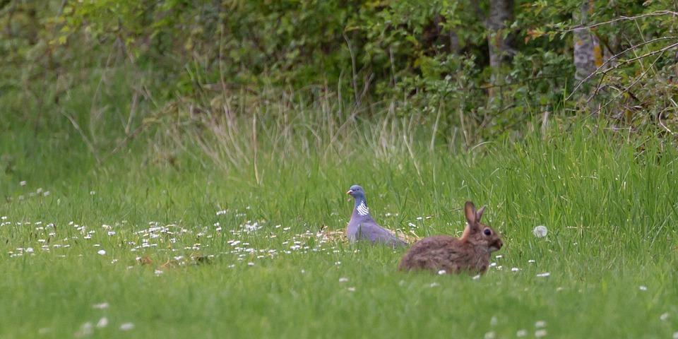 Wild Rabbit In Daisy Field, Rabbit, Wild Rabbit