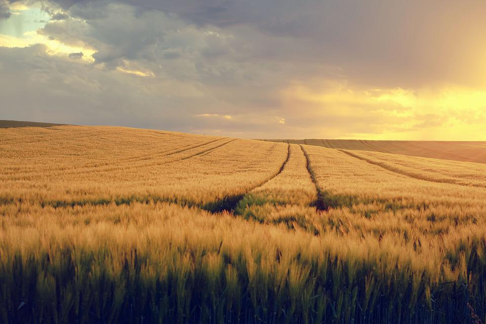 自然, 風景, フィールド, トウモロコシ畑, スプリング, 春イメージ, ワイド, 夜の光