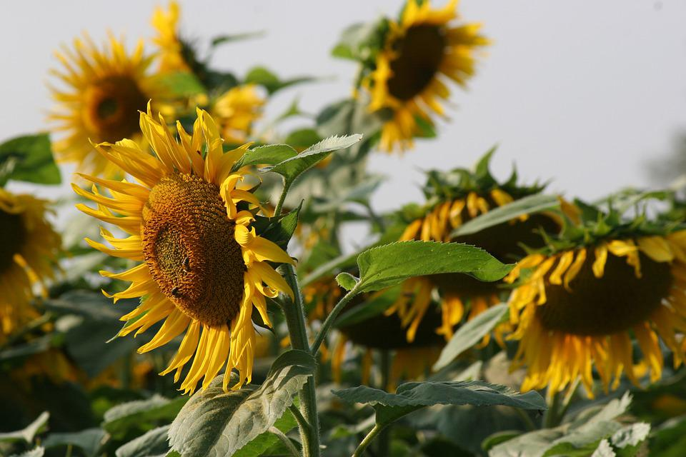 Sonnenblume, Blüte, Leuchtend, Natur, Landschaft