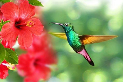 Hummingbird, Bird, Hibiscus, Nature