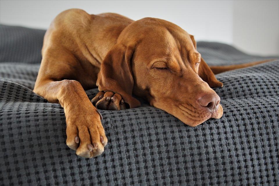 Pet, Dog, Vizsla, Hunting Dog, Tired, Sleep, Relaxed
