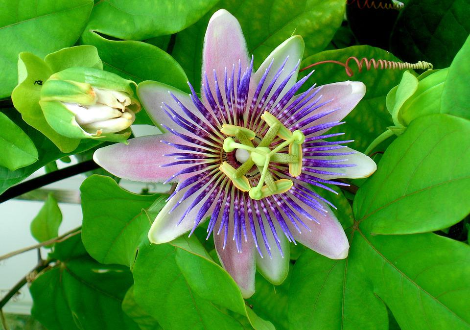How To Grow Passion Flower Growing And Caring For Passion Flowers