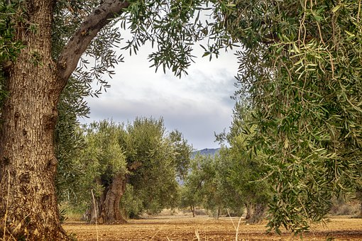 Landscape, Field, Olive Trees, Olive