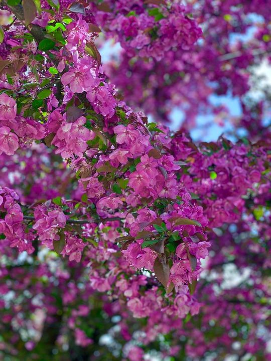 Purple, Pink, Fuschia, Lavendar, Violet, Flower