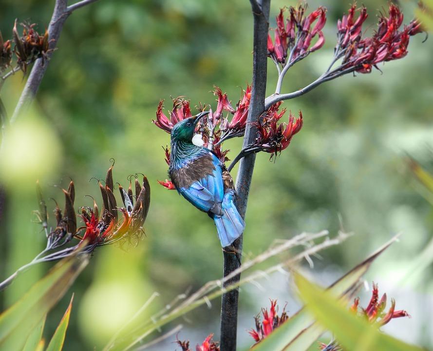 Tui, Bird, Nz, Flax, Native, Flower, Nectar, Black