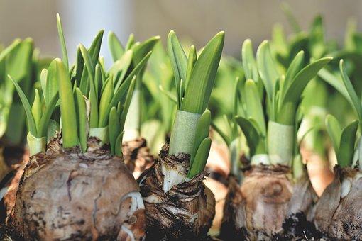 Narcissus, Narcissus Bulb, Spring Flower