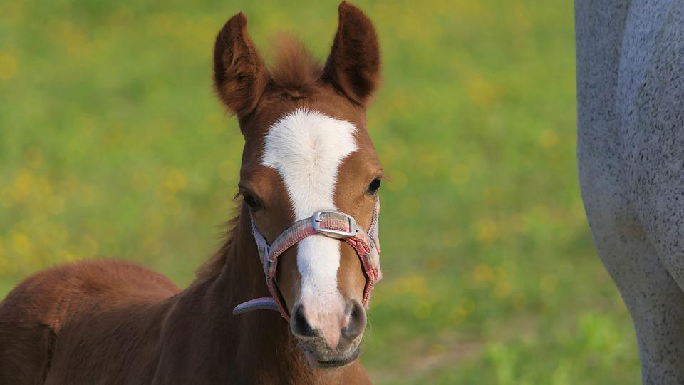 Foal, Brown, Baby, Portrait, Horse, Animal, Equine