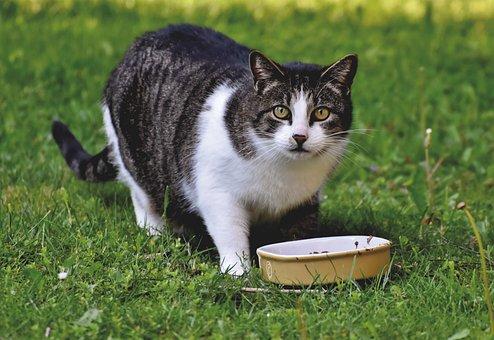 Mabuk, Kucing, Kucing Domestik
