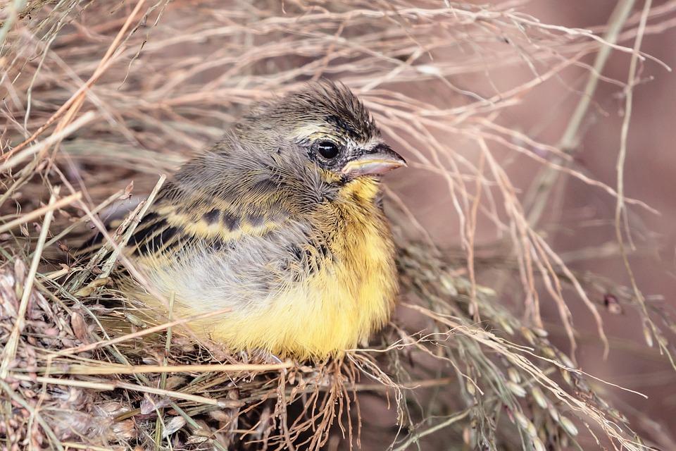 Afrika, Geel, Kanarie, Malawi, Vogel, Nest