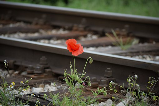 One Red Poppy, Compassion From Nature